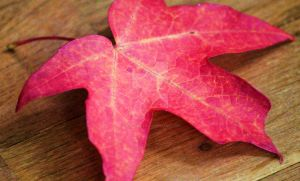 Red Leaf #3 by PhotoTAKER1497