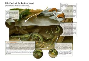 Life Cycle of the Eastern Newt by elizabethnixon