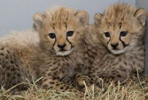 cheetah cubs :) by NIENTEeNESSUNO