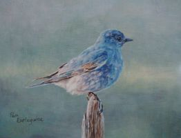 Mountain Bluebird by Earleywine