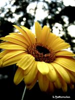 Yellow Flower by livelysmile