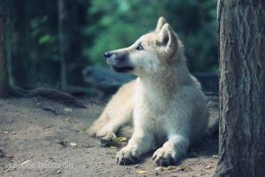 Arctic Wolf by Titou963
