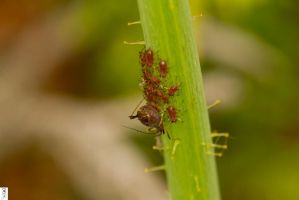 Uroleucon Aphids by The-Dude-L-Bug