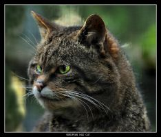 European Wild Cat by Dr-Koesters