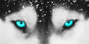 Close Up Of Wolfs Blue Eyes With Bits Of Snow by JumpinWombango