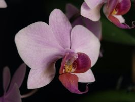 Beautiful orchidaceous by minimeany
