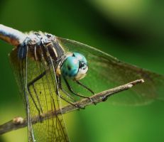 .,Blue Dasher..., by duggiehoo