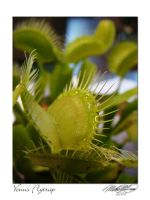Venus Fly Trap by DistantVisions