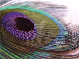 Peacock Feather by Crook-Ouhai