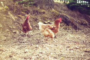 Chicks by Freacore