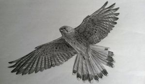 Falcon by LauriieT