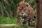 Jaguar by Alannah-Hawker