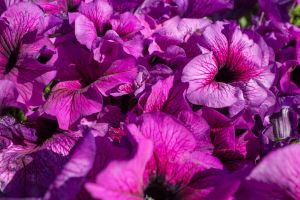 Waves of purple flowers by sztewe