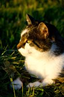 Cat in sunset light by DeviantTeddine