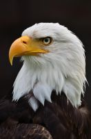 bald eagle 001 by werram