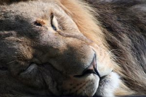 Sleeping Lion by AF--Photography