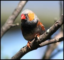 Zebra Finch by mikewilson83