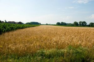The rye field by steppeland