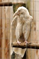 Rare white raven 4 by DarkBeforeDawn23
