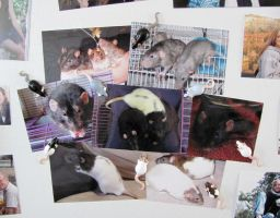 Rat Magnets in Action by DragonsAndBeasties