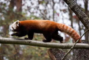 red panda by PlayDead89