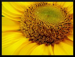 Sunflower by lexxi