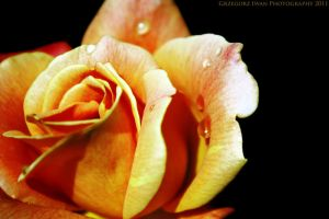The Rose by gregivan