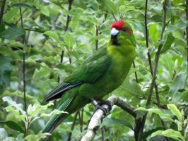red-crowned parakeet by kiwipics