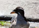 Rhinocerous Auklet by davecbend