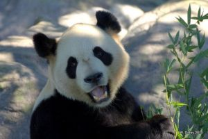 Giant Panda by lenslady