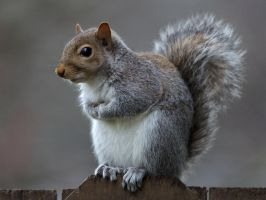 Eastern gray squirrel 35 by EasternGraySquirrel