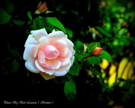 A rose for hope. by Bermiro