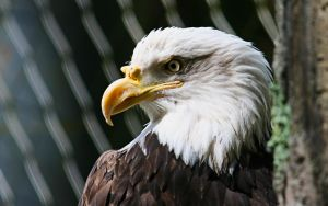 Bald Eagle by FrostAvy
