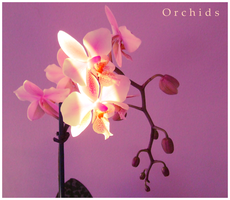 Orchids IX by FranticMezmer