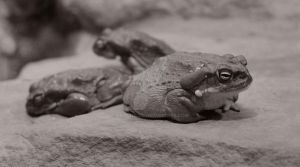 Frog by Sr-Manolo