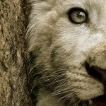 Nice Lion Cub by Gambitpk