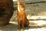 Dhole by Quiet-bliss