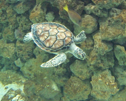 Turtle Underwater by Sherrys-Camera
