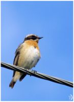 Whinchat by Eleramo