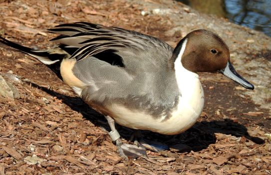 Pintail Duck by Seagaullsphotography