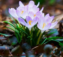 Crocus by WouterPera