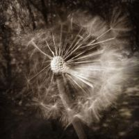 Dandelion by john-gray-on-DA
