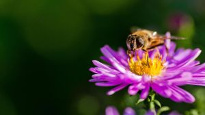 Bee on a violet flower II by Skrzynia