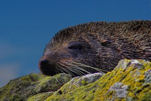 New Zealand Fur Seal by carterr