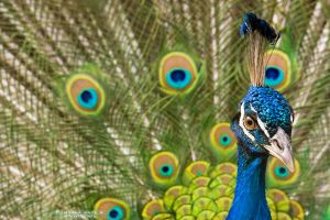 Indian Peafowl by DominikaAniola