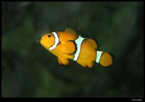 Clownfish by Lunchi