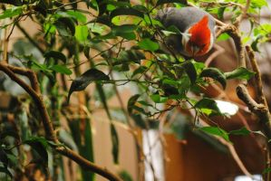 Red-Crested Cardinal by xNocturneMelodyx