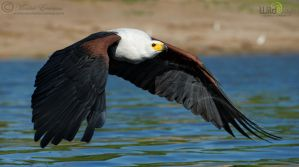 African Fish Eagle by MorkelErasmus