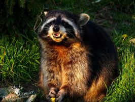 Raccoon with food by TheFunnySpider