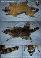 For Sale(SOLD) - Raccoon #003 (Mother) by ToothNClawTaxidermy